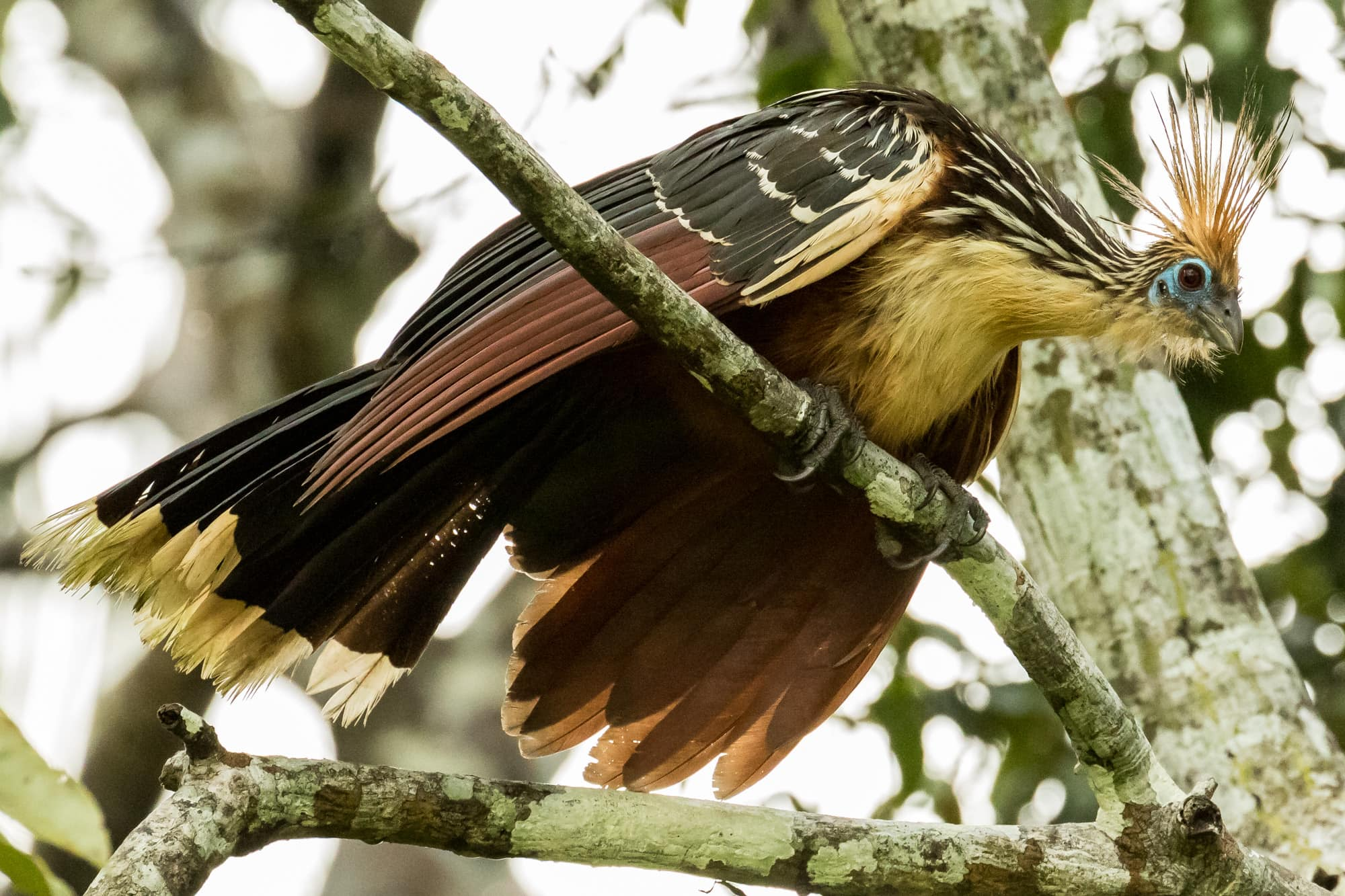 Amazon-Hoatzin-1U7A0044
