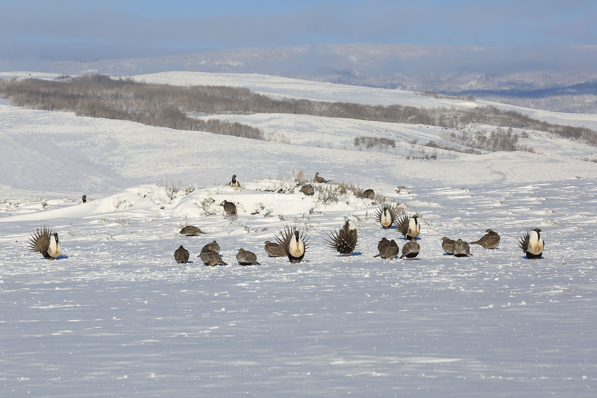 COLORADO Greater Sage Grouse