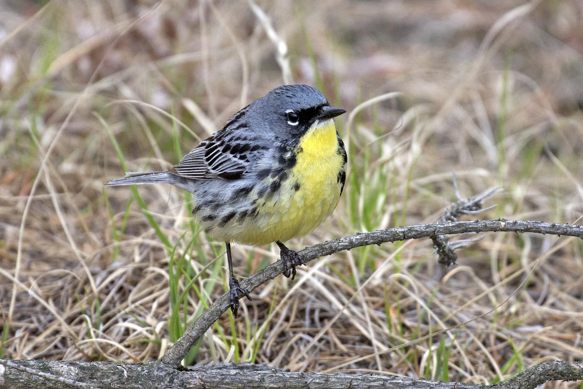 OHIO MICHIGAN Kirtland's Warbler