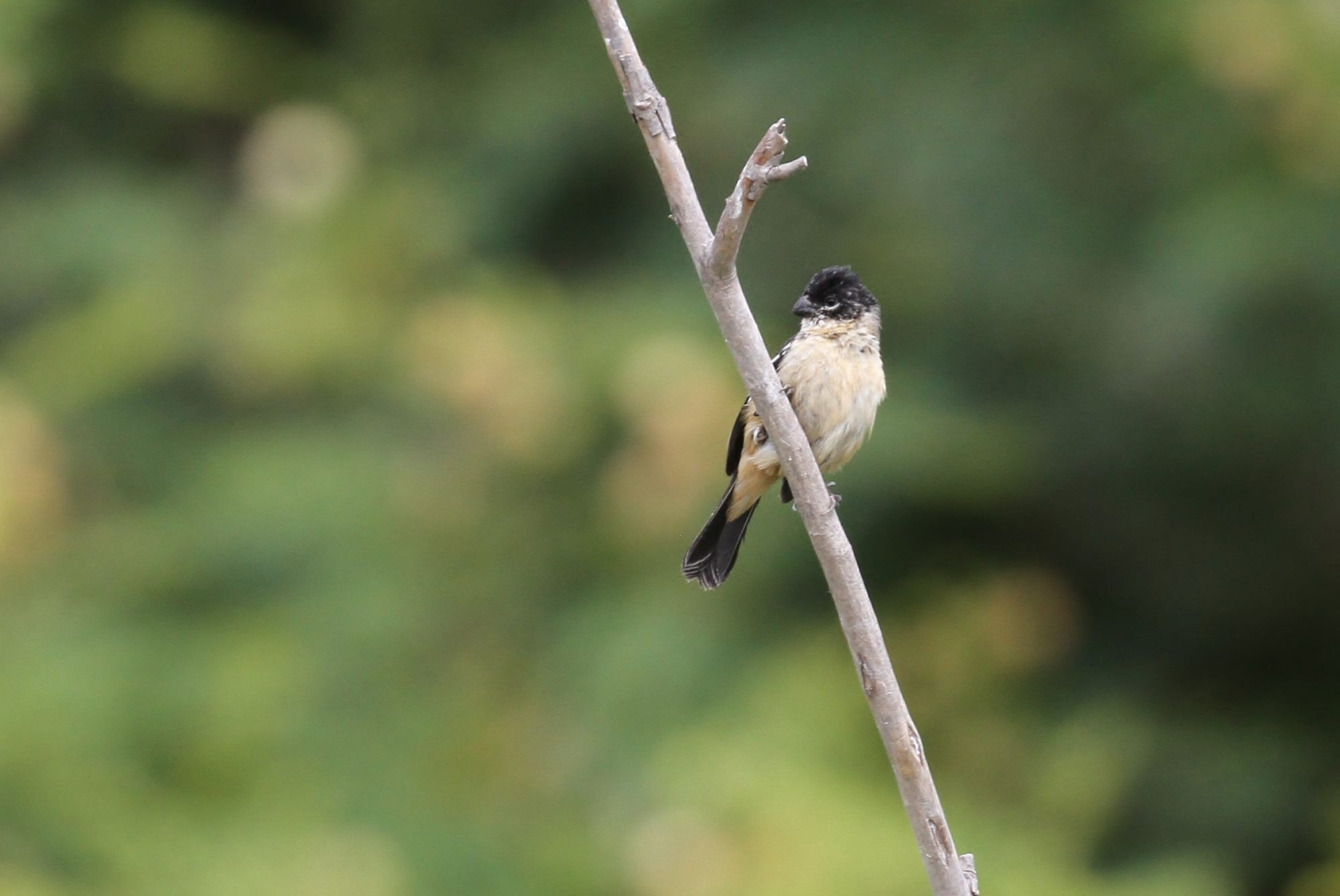 Male Morelet's Seedeater, photo by Alex Lamoreaux