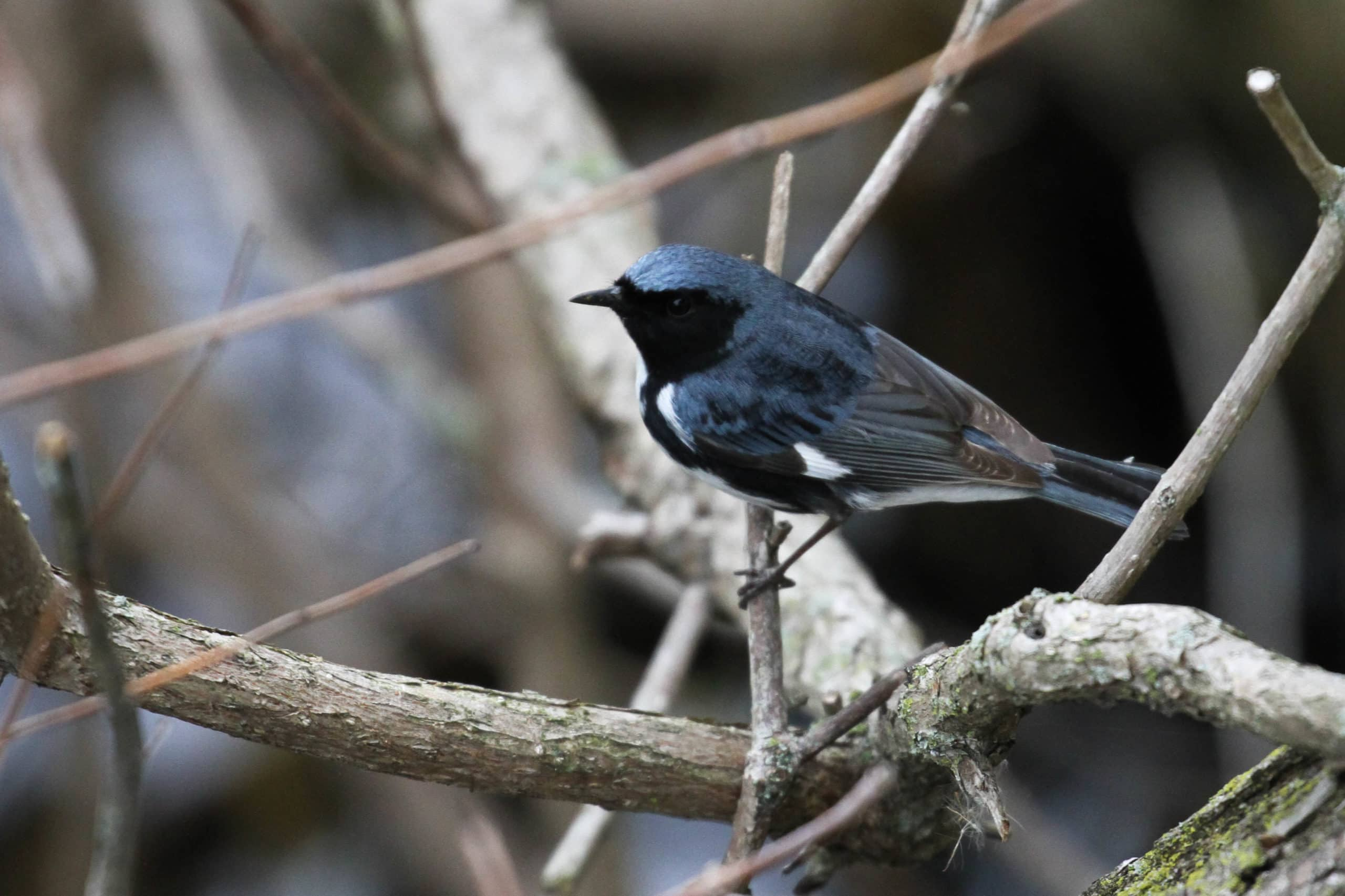 """Cairn's Warbler"" - the dark-mantled, southern subspecies of Black-throated Blue Warbler (Photo by Alex Lamoreaux)"